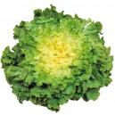 Salade Scarole de serre