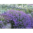 Aubriète violette vivace par 1