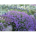 Aubriète violette vivace par 3