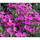 Aubriète rose vivace par 3