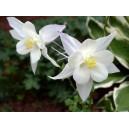 Ancolie blanche vivace par 3