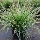 Carex vert nain vivace par 1