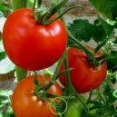 2 barquettes de 6 plants Tomates Saint Pierre