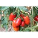1 barquette de 6 plants Tomates Roma Olivette