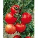 2 barquettes de 6 plants Tomates Montfavet